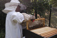 Beekeeper harvesting honey